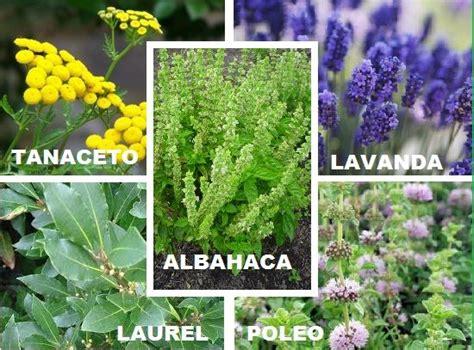 17 best images about plantas on pinterest los gatos 17 mejores ideas sobre plantas repelentes de mosquitos en