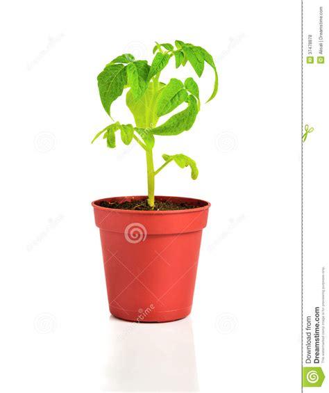 pianta pomodoro in vaso la piantina della pianta di giovane pomodoro in vaso da