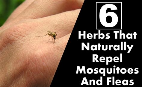 6 herbs that naturally repel mosquitoes and fleas find home remedy supplements