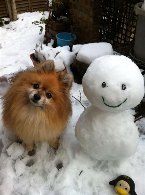 what do pomeranians look like in snow snowmen snow built ins and storms