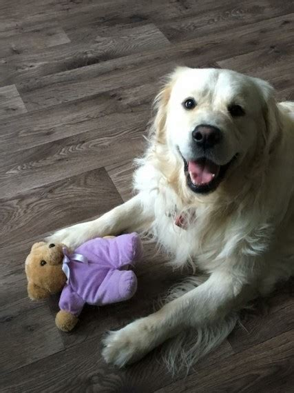 6 month golden retriever for sale golden retriever for sale bromley kent pets4homes