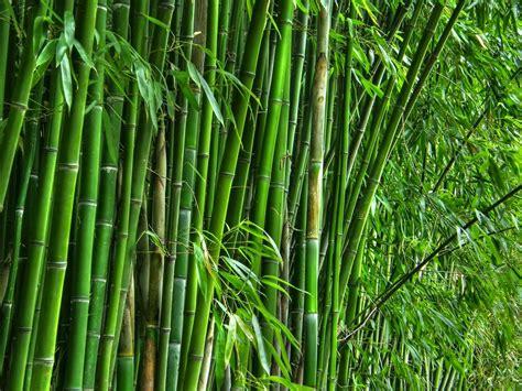 Obat Herbal Air Bambu 122 manfaat dan khasiat daun bambu untuk kesehatan khasiat