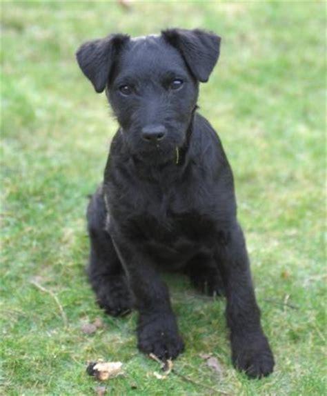 The Patterdale Terrier the patterdale terrier