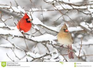 cardinals in snow royalty free stock photo image 20034195