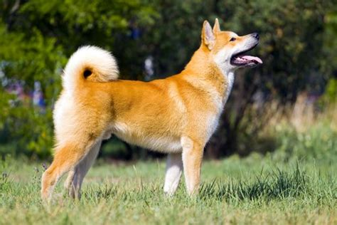 prettiest dogs 35 most beautiful breeds in the world