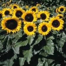 Benih Bibit Cucamelon bibit sunflower evening sun