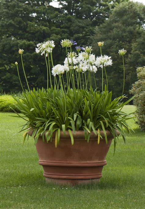 agapanthus white heaven in terracotta pot plants with