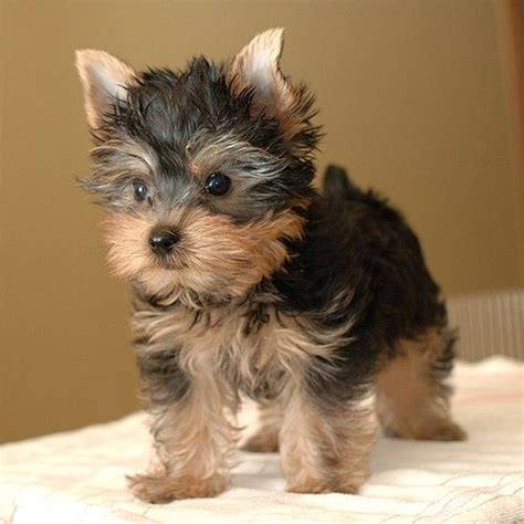 yorkie puppies for sale in mo 24 best images about yorkie chihuahua mixed puppies on