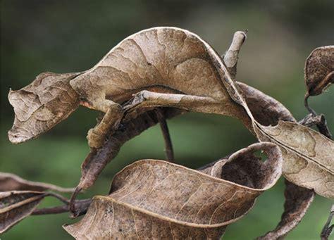 Uroplatus Gecko - AMAZING ADAPTATIONS