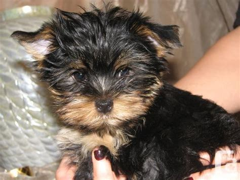 yorkie puppies for sale montreal teacup yorkie puppies text at 8173983954 for sale in montreal classifieds