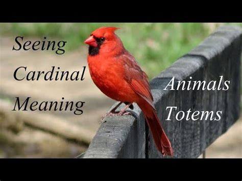 the meaning of seeing cardinals animal totems youtube