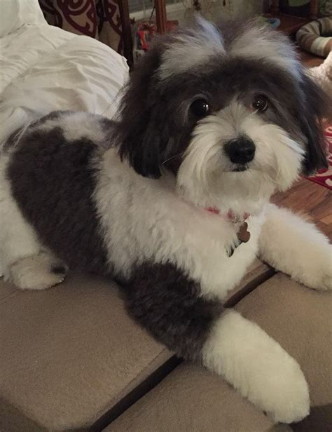 grooming a havanese puppy best 25 havanese grooming ideas on havanese haircuts havanese and