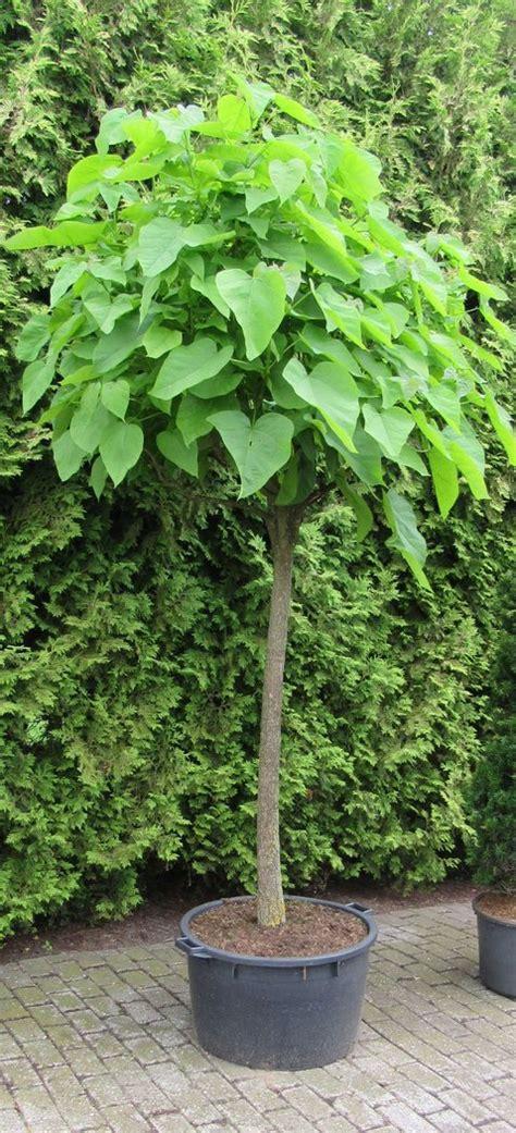 bäumchen im topf catalpha trompetenbaum im 65l topf 250 cm hoch