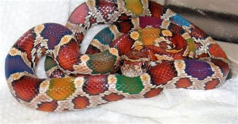 pigmentation pattern formation on snakes bright colored snake pictures bing images cool snakes