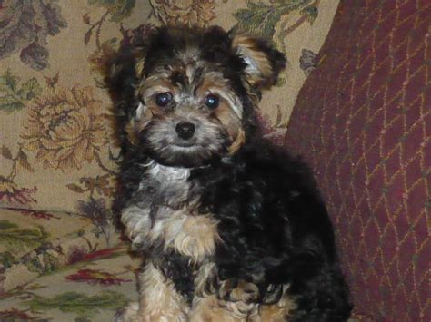 how often do yorkie poos need to be grooming poodles unlimited home page