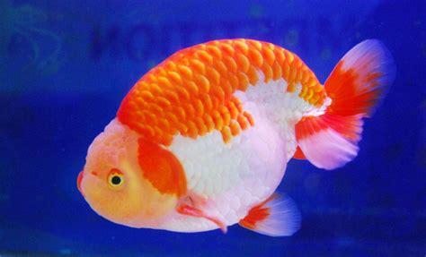 Ikan Koki Maskoki Koki Rancu Ranchu 20 jenis ikan koki anakmadiun s