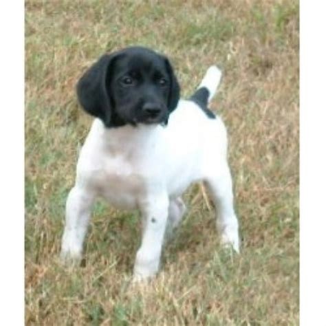 breeders in missouri german shorthaired pointer breeders in missouri freedoglistings