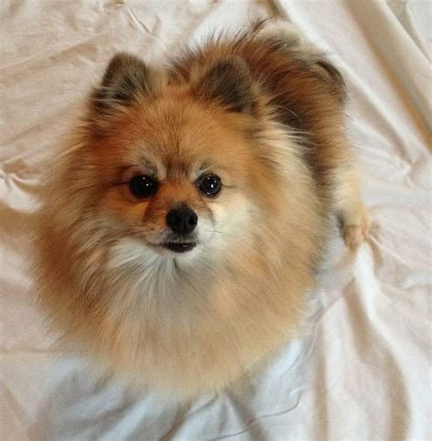 pomeranian rescue miami 1000 ideas about pomeranian for adoption on baby pomeranian and