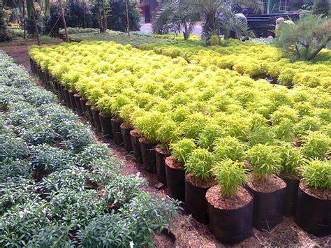 jenis tanaman hias  taman rumah minimalis tukang