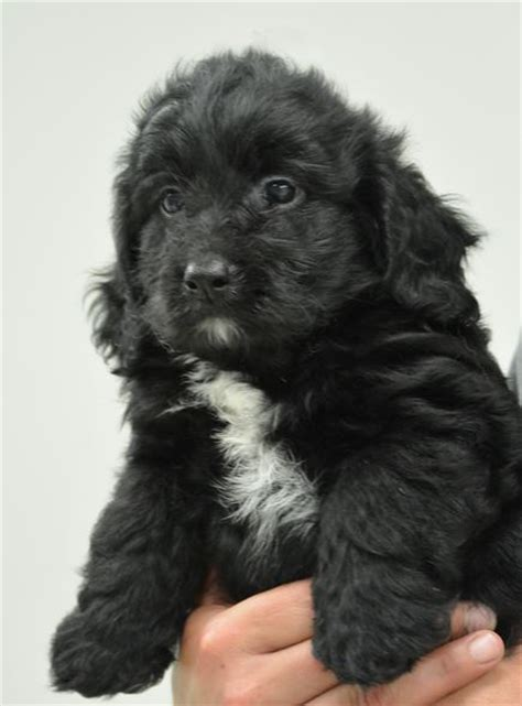 goldendoodle puppy black black and white goldendoodle puppy images jpg
