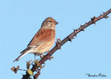 linnet bird photos by sandra palme