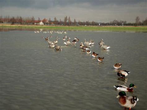 hutte virtuelle le forum de palombe chasse du canard dans les landes
