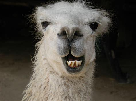 image smiling llama header jpg austin ally wiki fandom powered by wikia