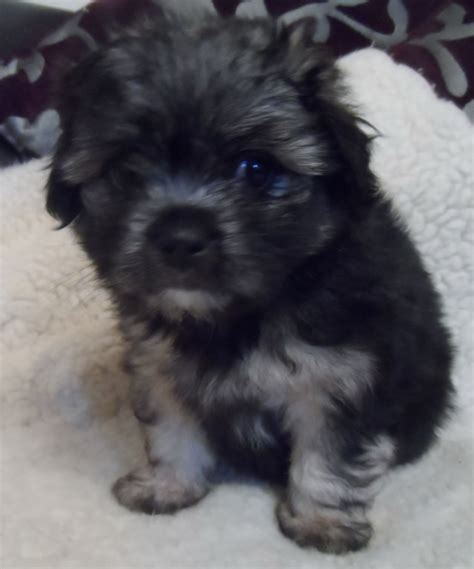 havanese cross pug maltese puppies on malti pug maltese pug hybrid puppy at 6 1 2 weeks breeds picture
