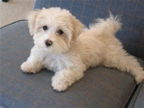 white maltipoo puppies wanted puppy maltipoo white nottingham nottinghamshire pets4homes