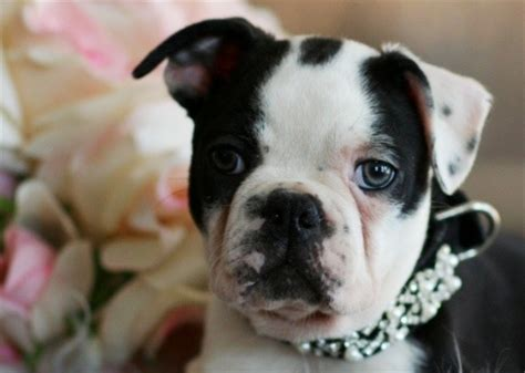 miniature boston terrier puppies for sale in ohio pin teacup boston terrier puppies for sale in florida on