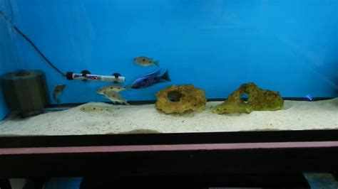 fish room water change system cichlids fish room update and overhaul 400 gallons water change system