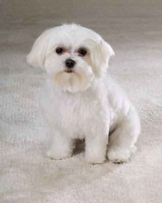 maltese puppy hair cut pictures maltese puppy cut grooming pinterest maltese dog