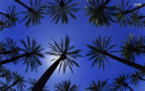 palm tree wallpaper palm trees wallpapers wallpaper cave