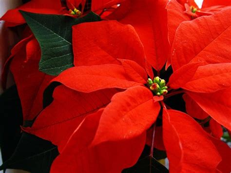 poinsettia and dogs are poinsettias harmful to dogs and cats