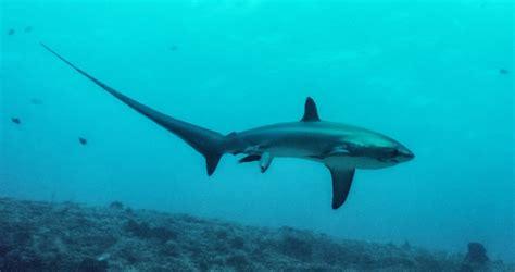 baby shark natal amazing accidental photo of a thresher shark giving birth