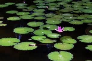 the lily pad neighbormedia org