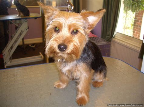 grooming styles for yorkies westie haircut for yorkie yorkie grooming styles pictures 194 images frompo