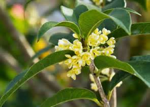 Most Common Garden Pests - osmanthus tea olive care tips for growing osmanthus plants