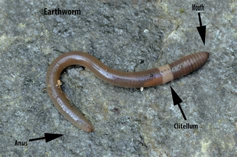 10 earthworm facts that may surprise you