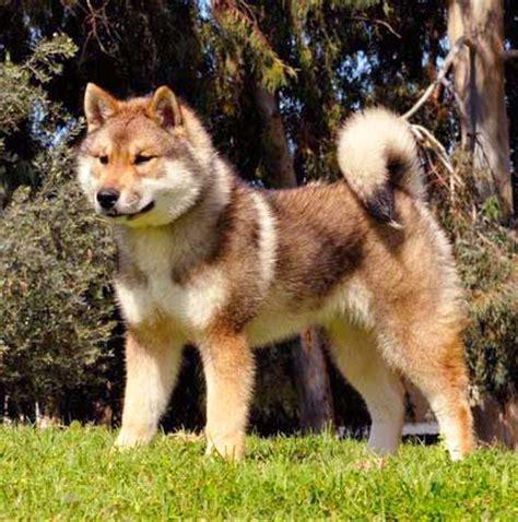 shikoku puppies image gallery shikoku