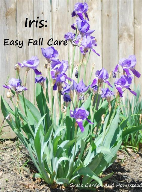 25 best ideas about irises on pinterest iris iris flowers and bearded iris