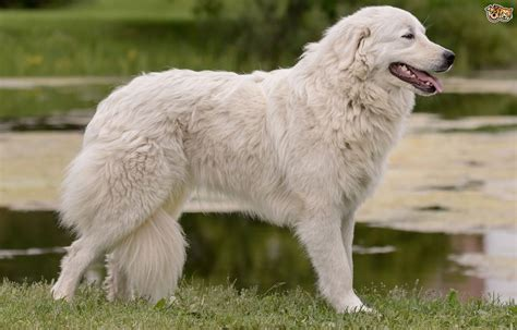 maremma puppy maremma sheepdog breed information buying advice photos and facts pets4homes