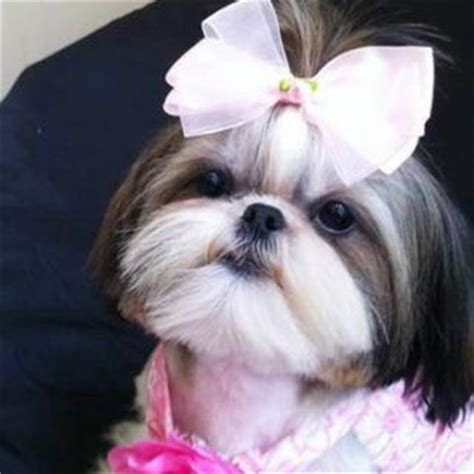 puppy names for shih tzu best 25 names ideas on