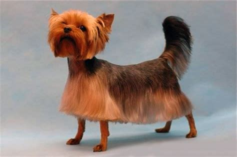 best brush for yorkie hair explore yorkie haircuts pictures and select the best style for your pet