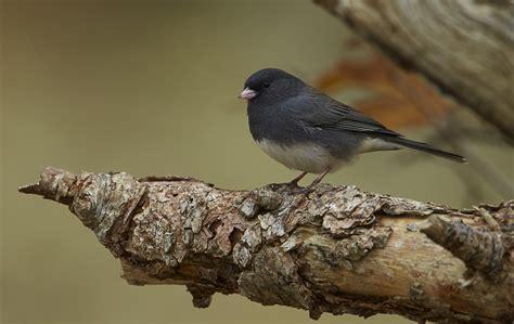 eyed junco birdwatching
