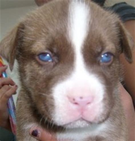 husky puppies for sale colorado springs 7 beautiful husky pit mix puppies for sale colorado springs co free classifieds