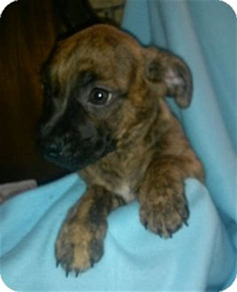 boston terrier pug mix for adoption elsa and adopted puppy freedom pa boston terrier pug mix