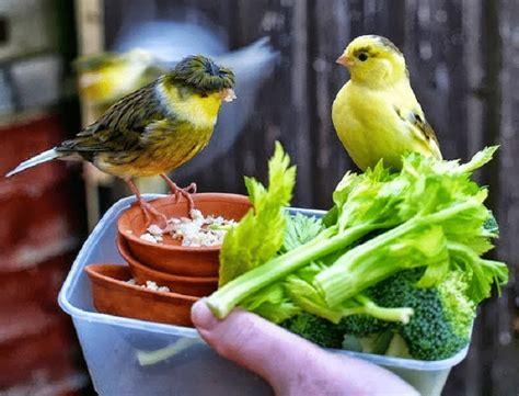 Pakan Lolohan Terbaik inilah manfaat daun mengkudu untuk burung kenari