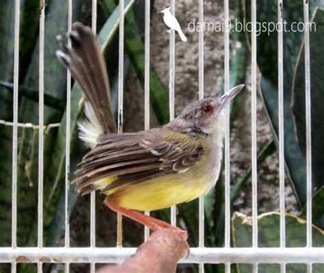 Tirai Burung Dan Sepasang Kekasih sepasang ciblek beda species yang bisa jodoh dan jinak