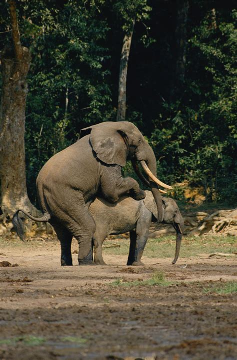 mating video of african people forest elephants mating photograph by michael fay